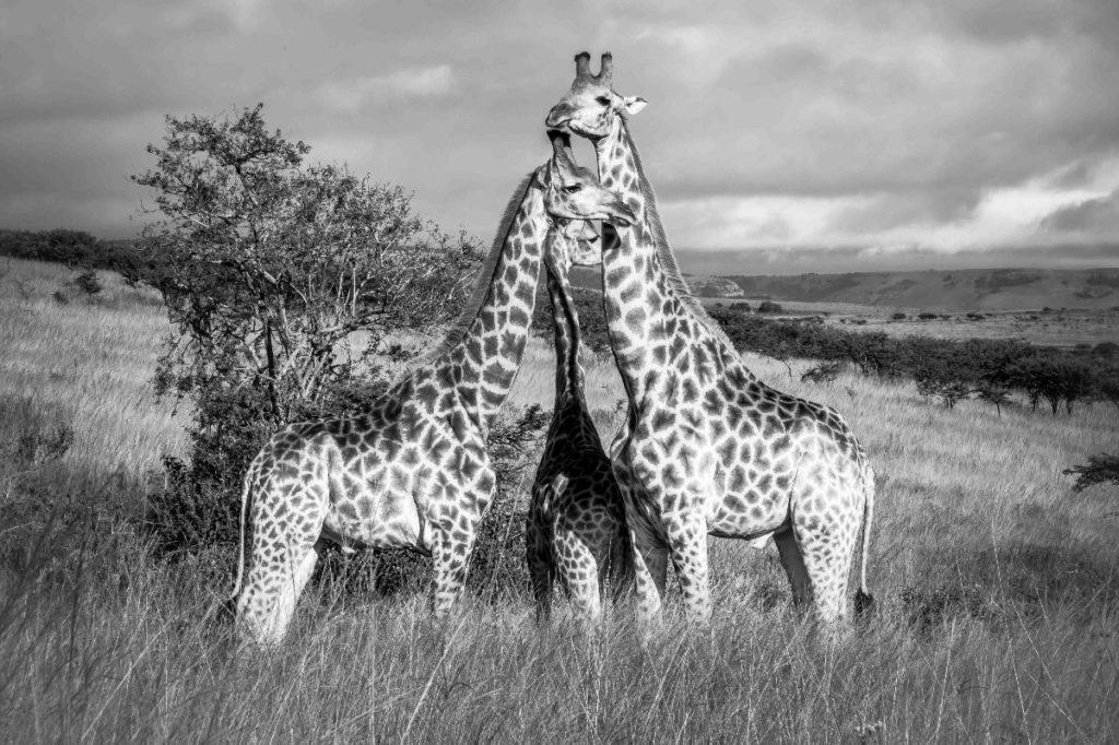 Giraffen in zuid-afrika foto