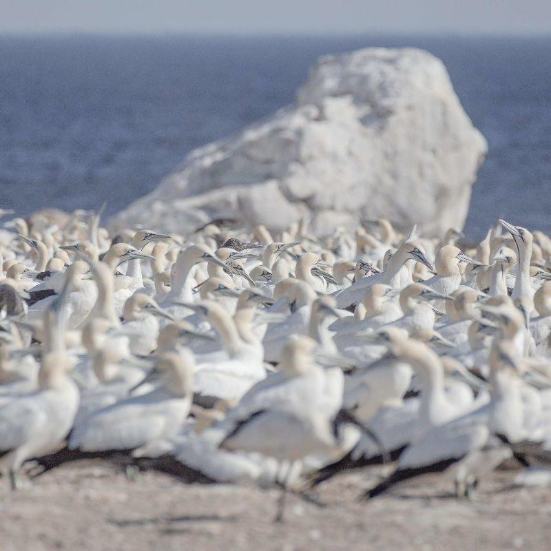 Gannets / Jan van Genten