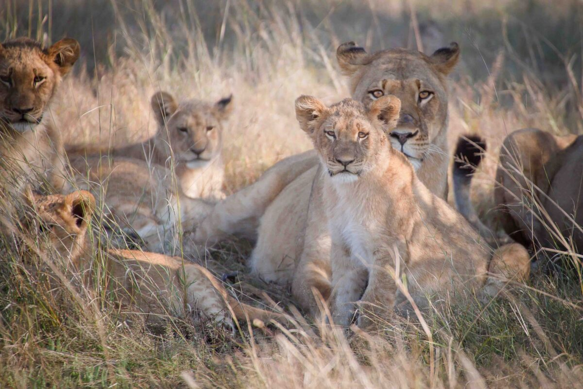 Lioness and cup lioness Zimbabwe