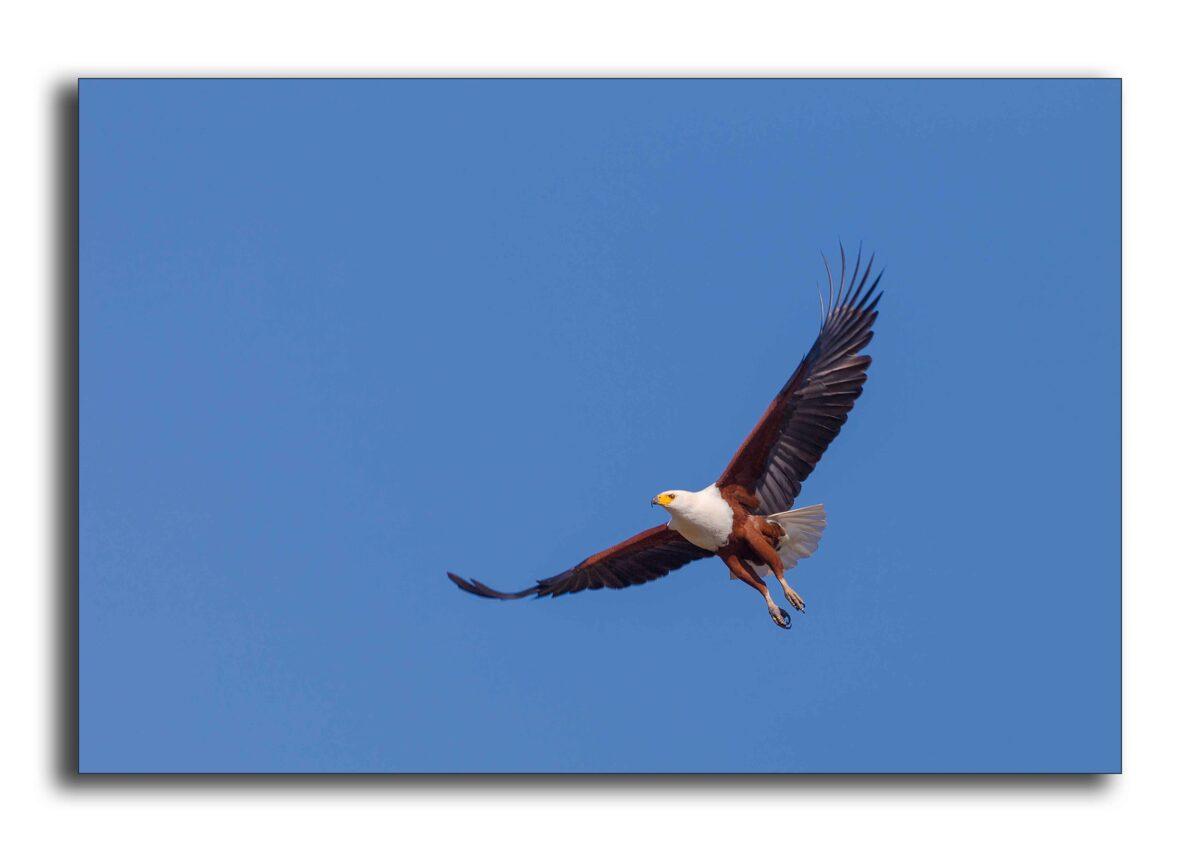 Fish Eagle Zimbabwe in Hwange National Park