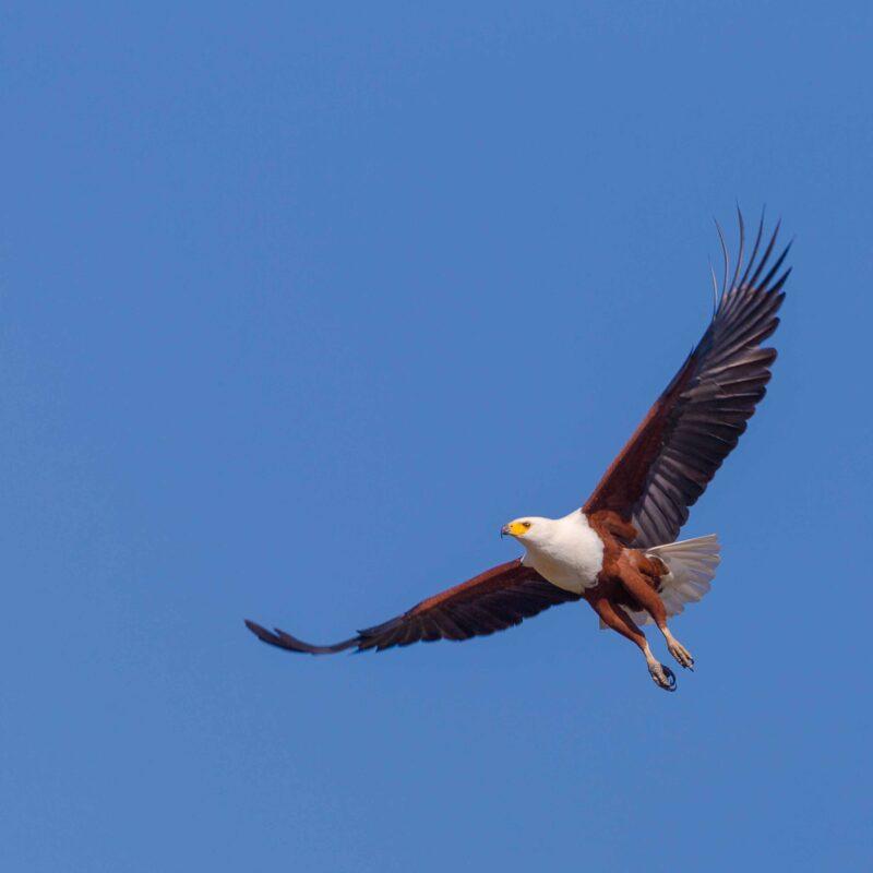 Fish Eagle Zimbabwe