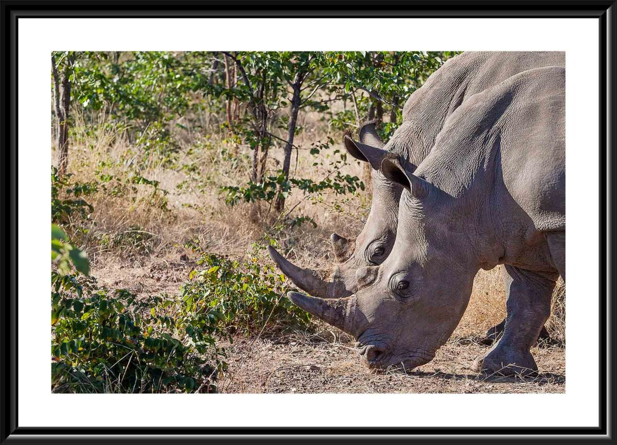 two white rhinos in Zambia